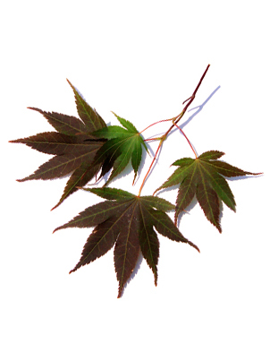 the hollywood gossip japanese maple bloodgood growth rate